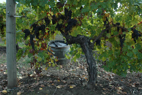 PIX-Walking_The_Vineyard_7607